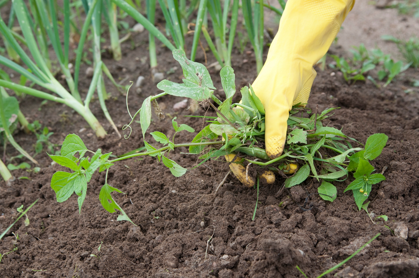 hand wearing yellow glove weeding garden