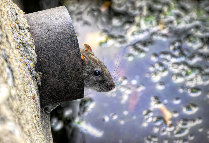 Like a rat up a drainpipe is a common phrase. This brown rat / Norway rat / Rattus norvegicus is actually in an overflow pipe.